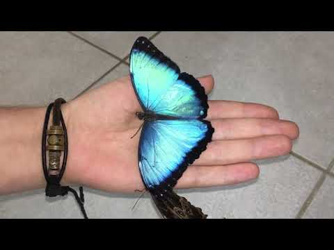 Most beautiful Butterfly's in the world ! Morpho peleides