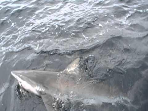100lb Brown Shark