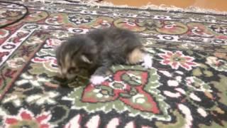 Маленький котенок учится ходить