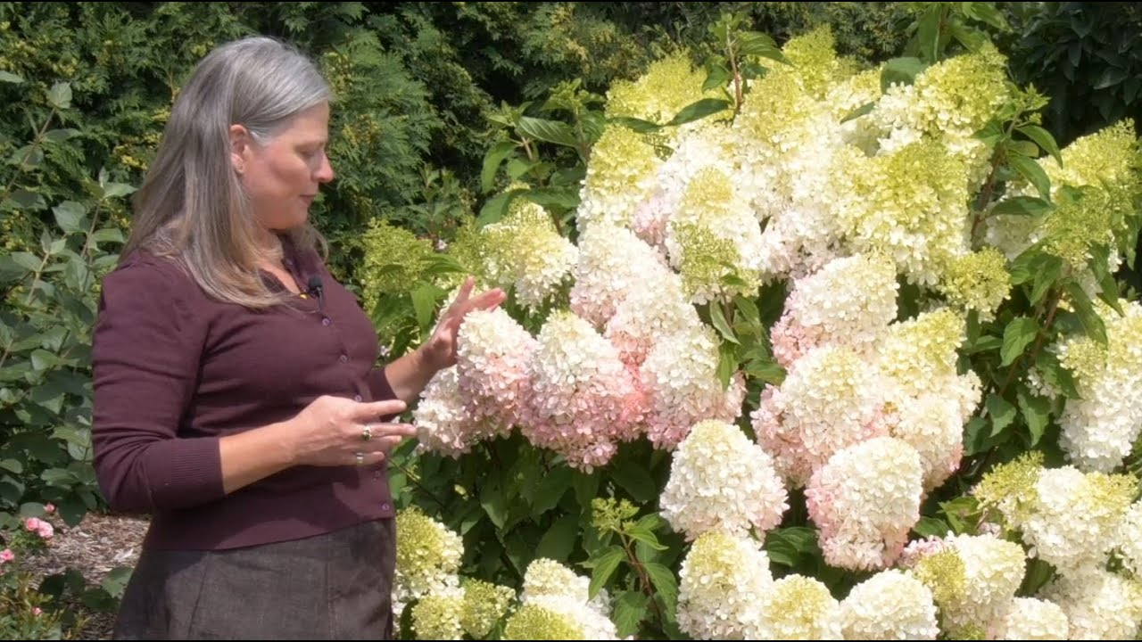 Download Which Panicle Hydrangea is Right For You? | Part One: Full-sized Hydrangeas