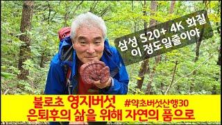 [4K화질] 불로초 영지버섯 산행3, 영지효능 10가지…