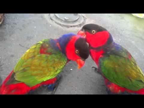 Burung Nuri Bercinta