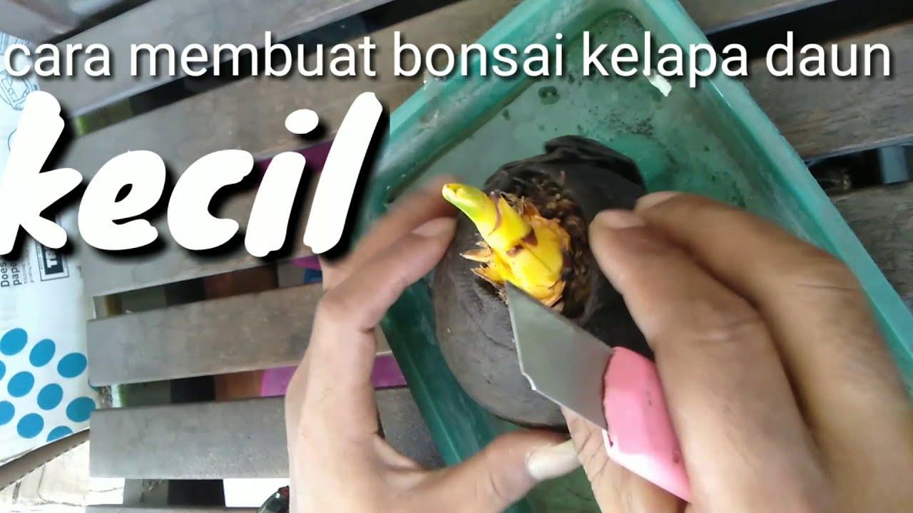 Bonsai Kelapa Cara Membuat Bonsai Kelapa Daun Kecil Dengan Usia 2