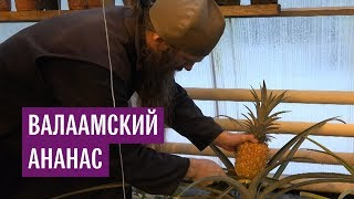 Валаамские монахи выращивают ананасы