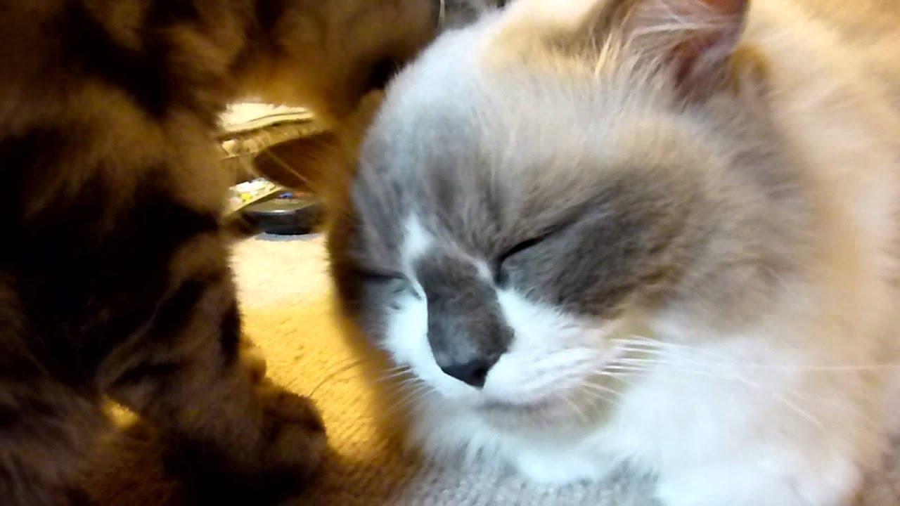 Download ペロペロされてゴロゴロ喉を鳴らす猫  =Reo grooms Rara's head=