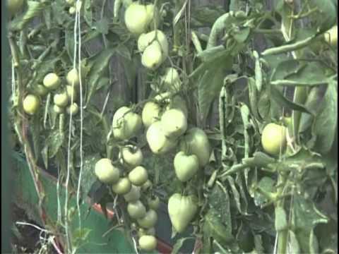 видео: Советы по выращивание помидоров в теплице