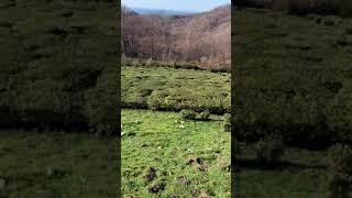 Чайная плантация в горах Сочи всочиумаши Очень тёплый день нового 2021 года