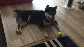 【柴犬エルヴィスとプレスリー】仕事中にボール投げを要求してくるエルヴィス Shibainu Shibaken thumbnail