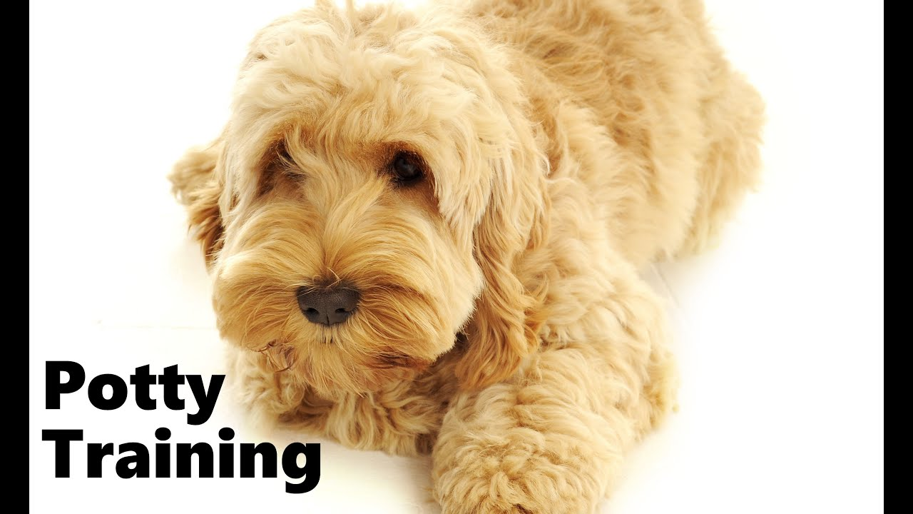 How To Potty Train A Cockapoo Puppy Cockapoo House Training Tips