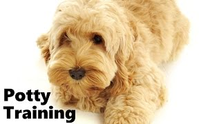 How To Potty Train A Cockapoo Puppy - Cockapoo House Training Tips - Housebreaking Cockapoo Puppies