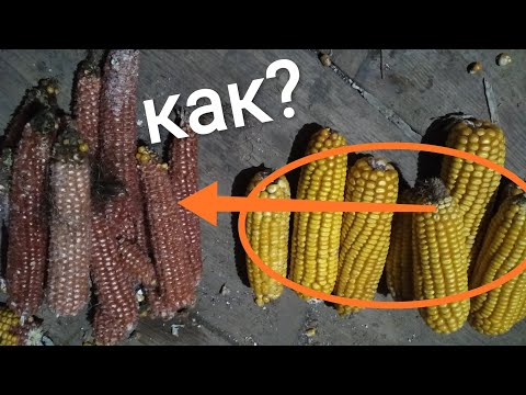 Как почистить початок кукурузы