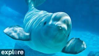 Beluga Boat Cam - Underwater Cam powered by EXPLORE.org