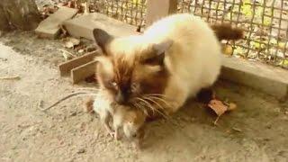 Кот расправился с крысой