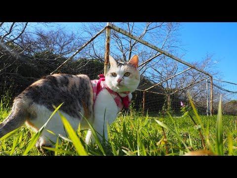 お散歩猫ネコ吉、気分はゴールキーパー!?【ネコ吉LIFE】Cute Cat Videos part38