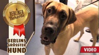 105'5 Spreeradio - Berliner Rekorde: Berlins größter Hund