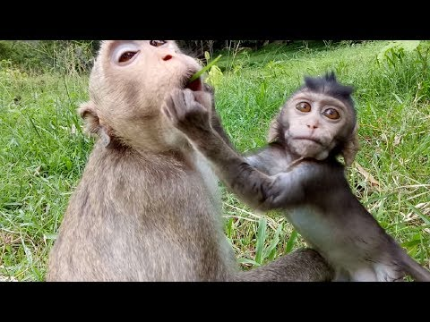 Thumbnail: Baby Monkey Tore Mum's Mouth Cos Want To See ST507 Mono Monkey