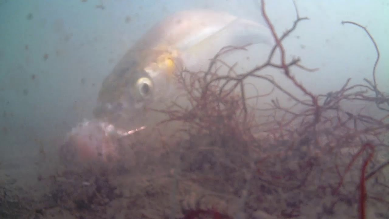 Water wolf underwater test smelt fishing in san for Sf bay fishing report