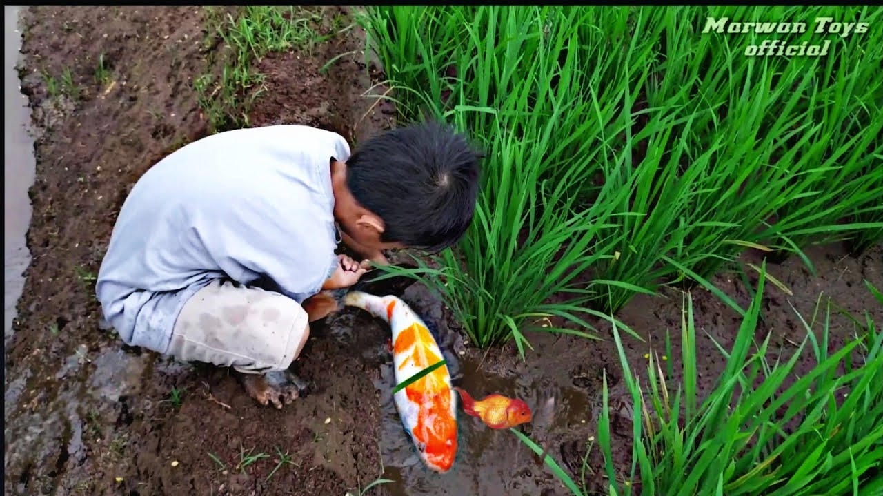 Temukan ikan koi kohaku,ikan koki Oranda , mainan ikan di sawah -Part17