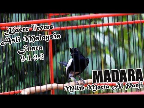 Video Kacer Tretes JAWARA | Kacer MADARA Milik Joko Habis Gantang Juara