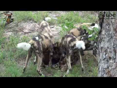 African Painted Dog Pack With An Impala Lamb