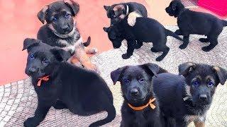 ЩЕНКИ Немецкой Овчарки! от Айзы и Ареса Одесса For sale puppies German shepherd!