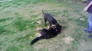 This Video Previously Contained A Copyrighted Audio Track. Due To A Claim By A Copyright Holder, The Audio Track Has Been Muted.     Pitbull Almost Kills A Rottweiler
