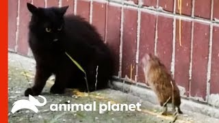 The Ultimate Unexpected Rat vs. Cat Face-off! | Weird, True & Freaky