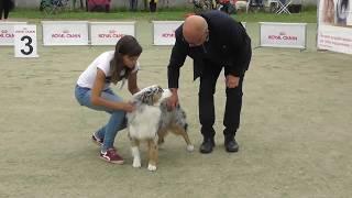 Австралийская овчарка, интернациональная выставка собак в Великом Новгороде ранга CACIB