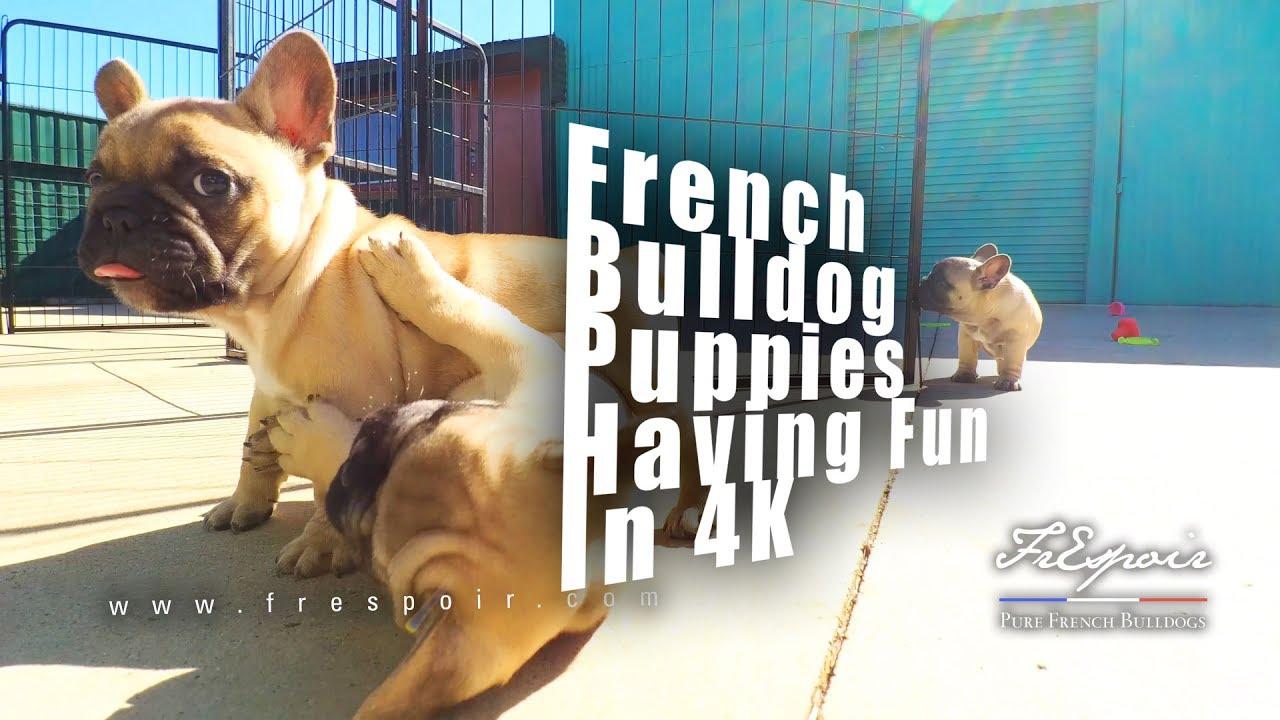 French Bulldog Puppies having fun in 4K - YouTube