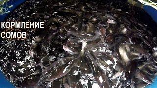 КОРМЛЕНИЕ СОМОВ Рыбная ферма Сом Сомыч