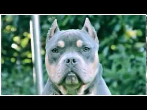 TRI COLOR PITBULL AMERICAN BULLY PUPPY