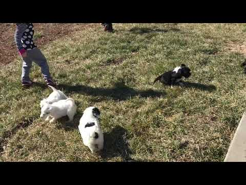 PuppyFinder.com : Puppy play with the Grands