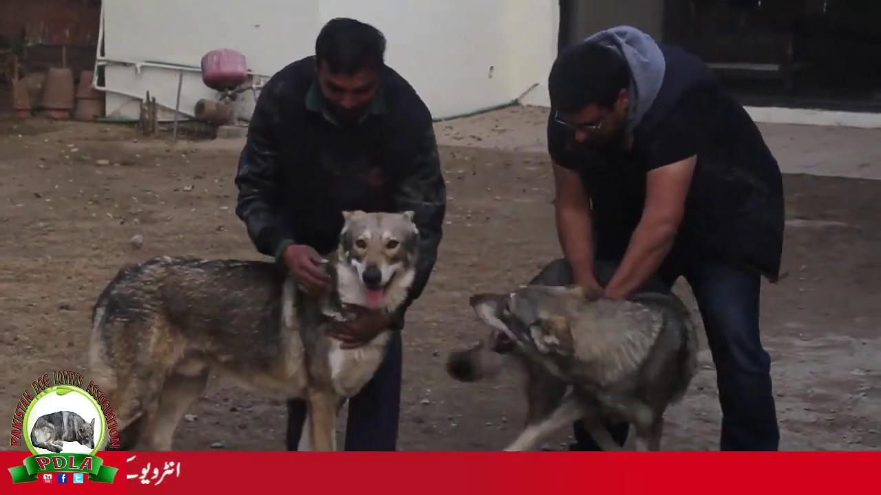 First Wolfdog Imports Pakistan By Sardar Uzair Hassan Youtube