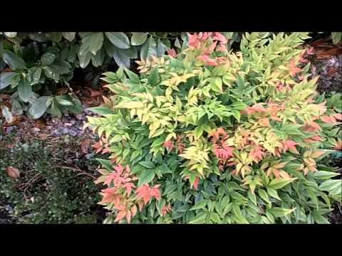 Mrs Fine Fettle's Plant Picks: Nandina Domestica
