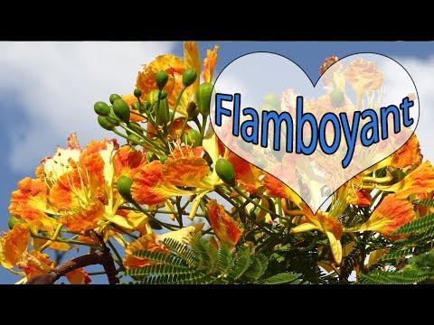 Flamboyant - Árvores Que Atraem Pássaros
