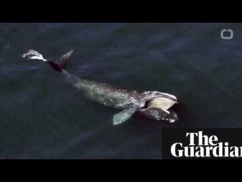 North Atlantic right whale faces extinction in 20 years