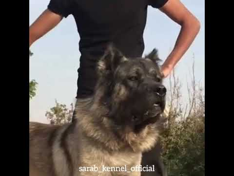 ✔️Look at this angry face! Sarabi dog or Iranian mastiff, one of the oldest breeds in the world.