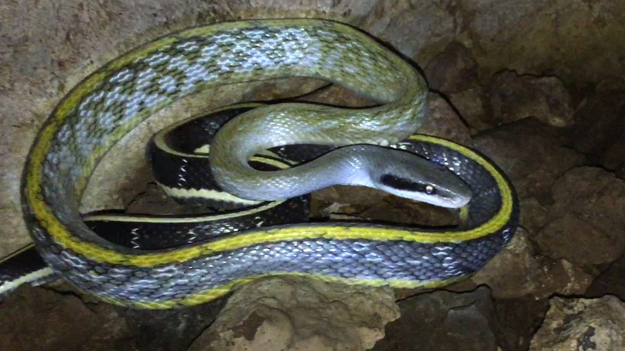 Beauty Rat Snake Found In A Cave Youtube
