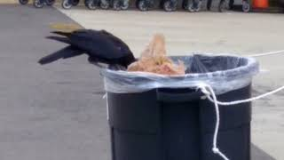 Black Crow need to eat 2