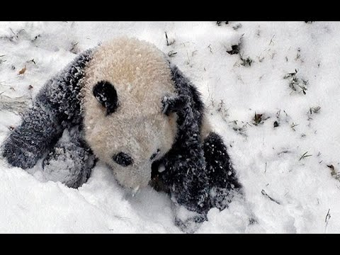 Delighted panda cub plays in the snow for the first time
