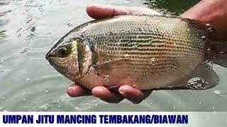 7 Umpan Mancing Ikan Tembakang / Tebakang / Biawan Paling Ampuh