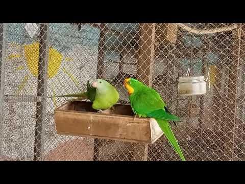Барабандовы попугаи.Разведение в вольерах (Polytelis swainsonil). الببغاوات بارباند.