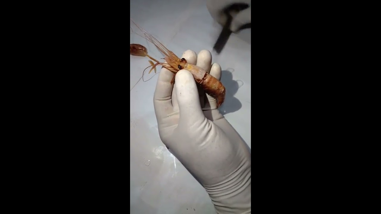 Dissection of nervous system of prawn youtube dissection of nervous system of prawn ccuart Image collections