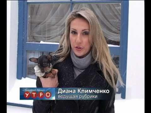 О русском той-терьере...