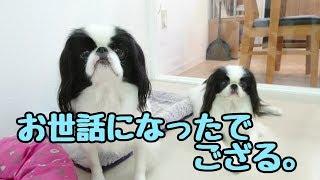 狆 ハロくん 狆 ひまわりちゃん トイプードル あんこちゃん トイプード...