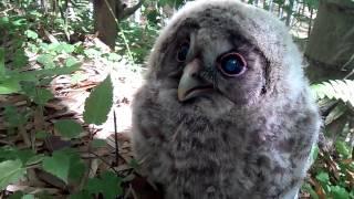 竹やぶでフクロウの赤ちゃんを子供らが発見。巣から落ちたんでしょうか...