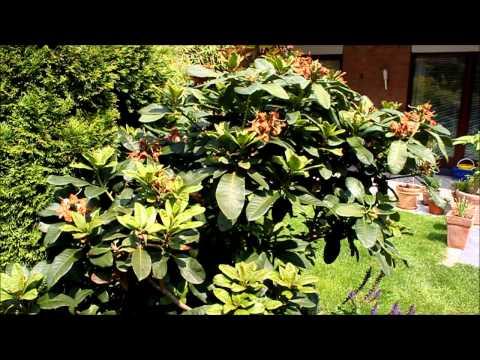 Rhododendron Formen und Verjüngen - NewWonder555