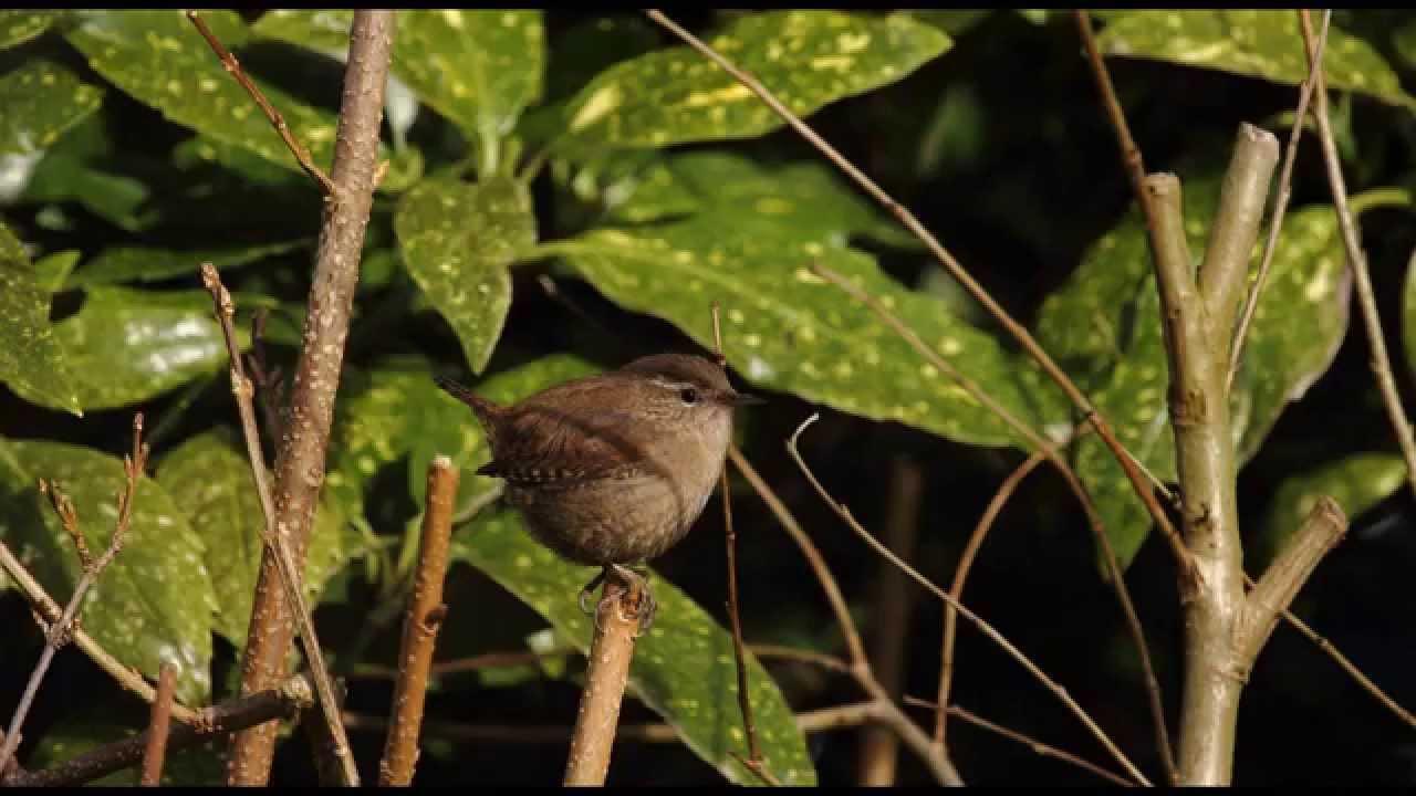 4 Hours Birdsong - Wren Singing - Nature Sounds