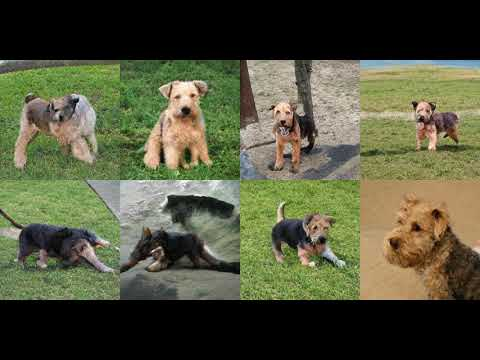 Generating Lakeland Terrier with Deep Learning