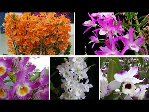 CORRE! Orquídea Dendrobium Nobile Por Apenas R$ 9,90!